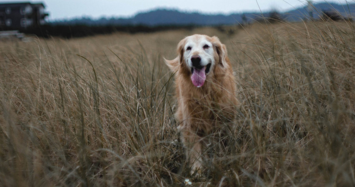 Why Adopting An Older Dog Is Worth Having Less Time